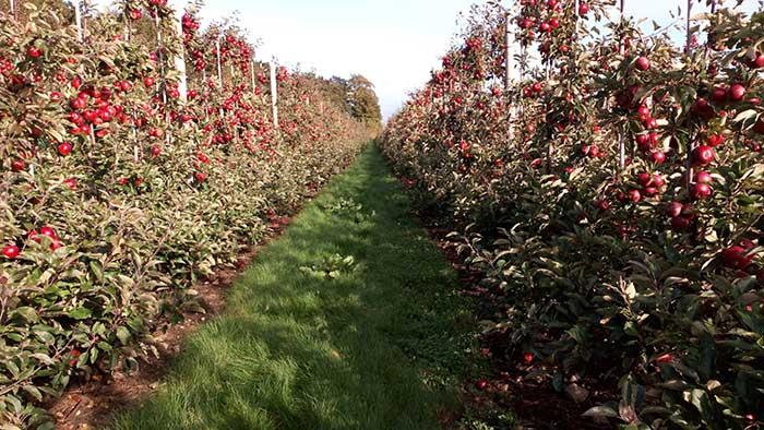 Äppelodling i Skåne